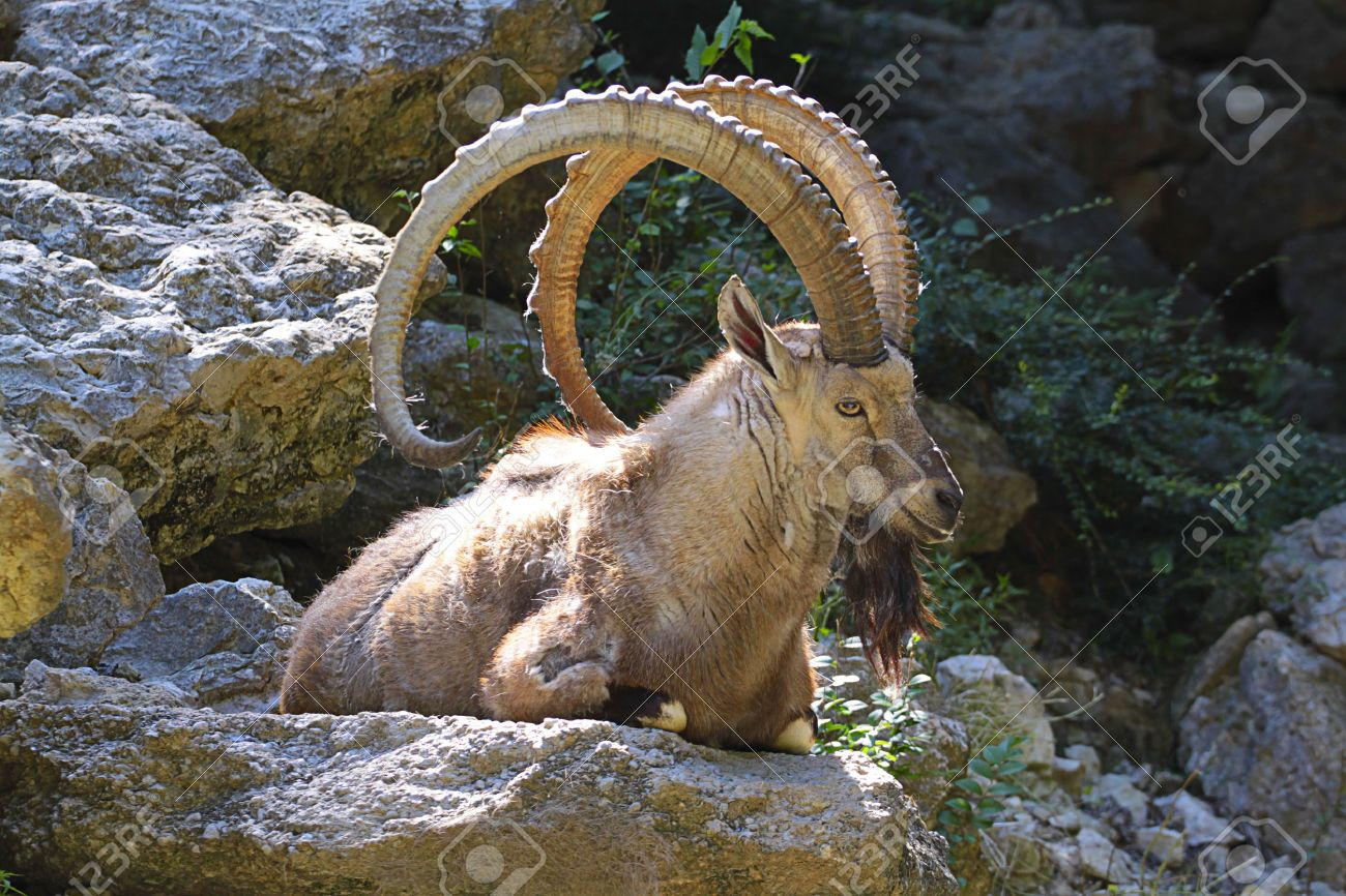 Mouflon Resting Stock Photo Picture And Royalty Image Image 1300x866