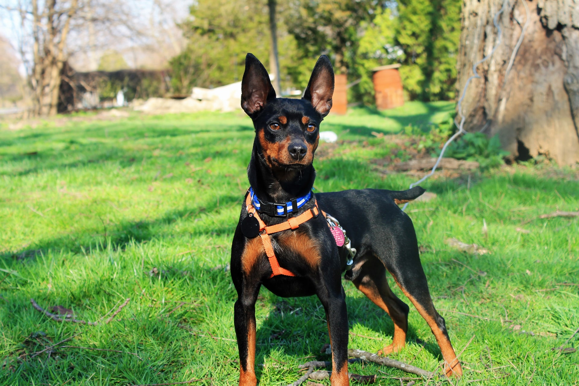 Miniature Pinscher HD Desktop Wallpapers 7wallpapersnet 1920x1280