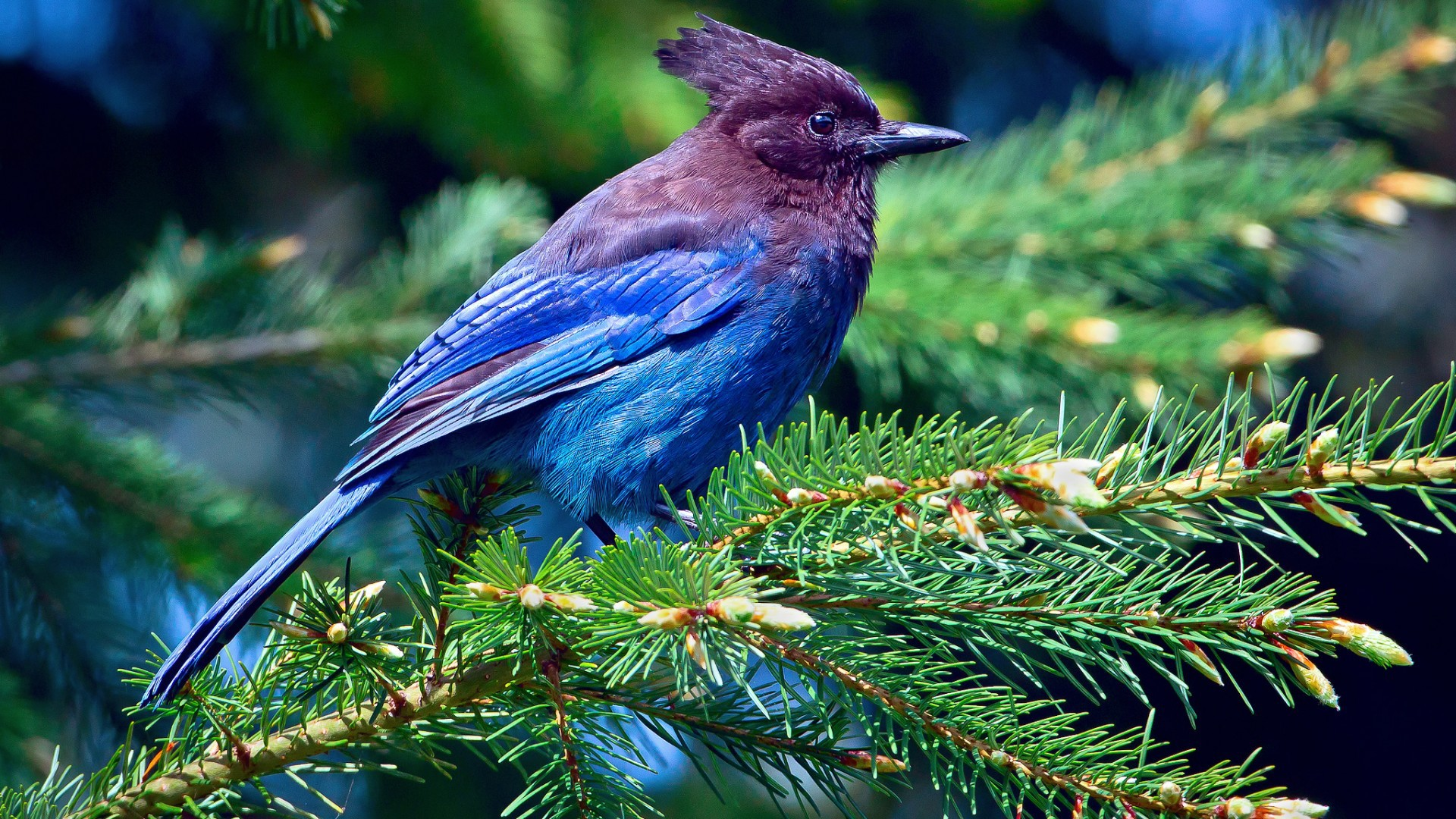blue bird on a tree wallpapers and images   wallpapers pictures 1920x1080