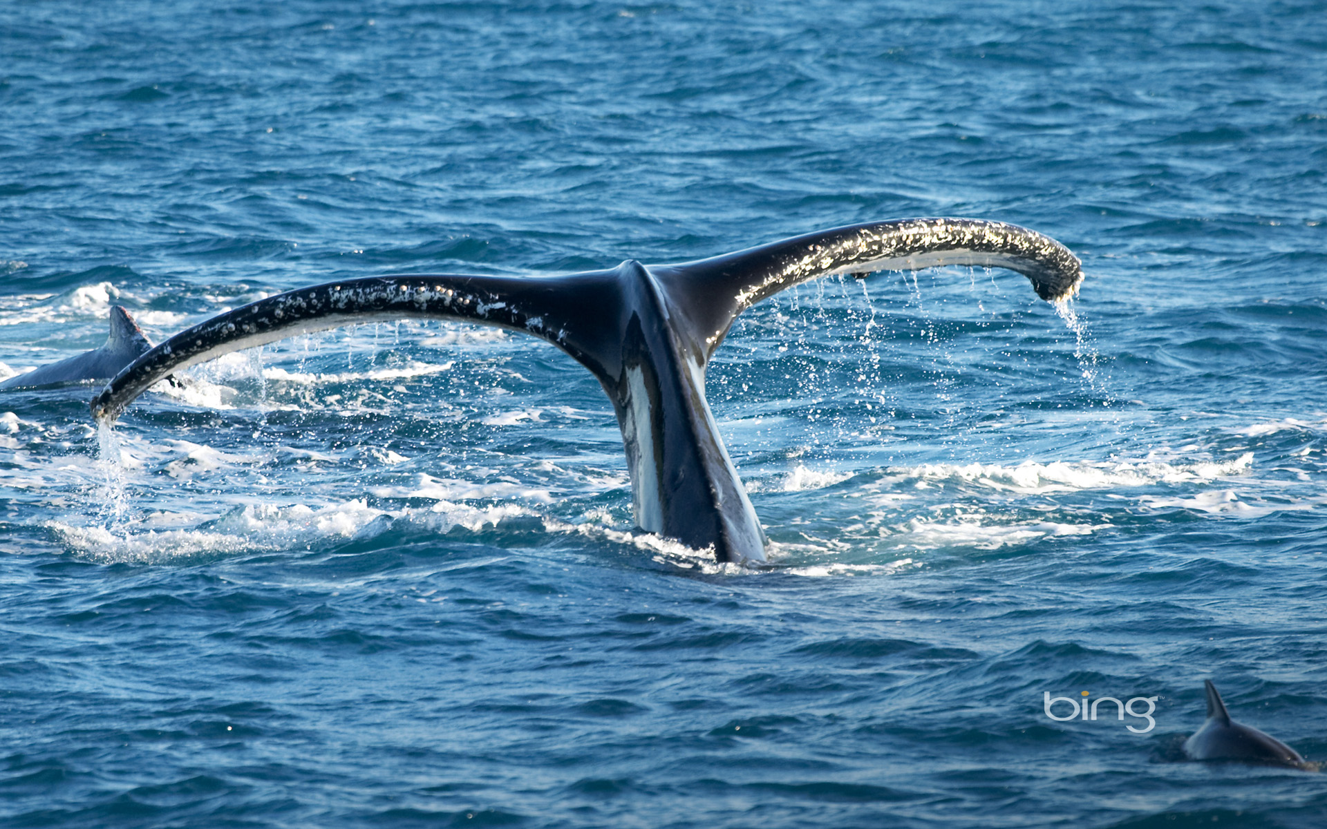 of Humpback Whale Hervey Bay Queensland Australia HQ Wallpapers 1920x1200