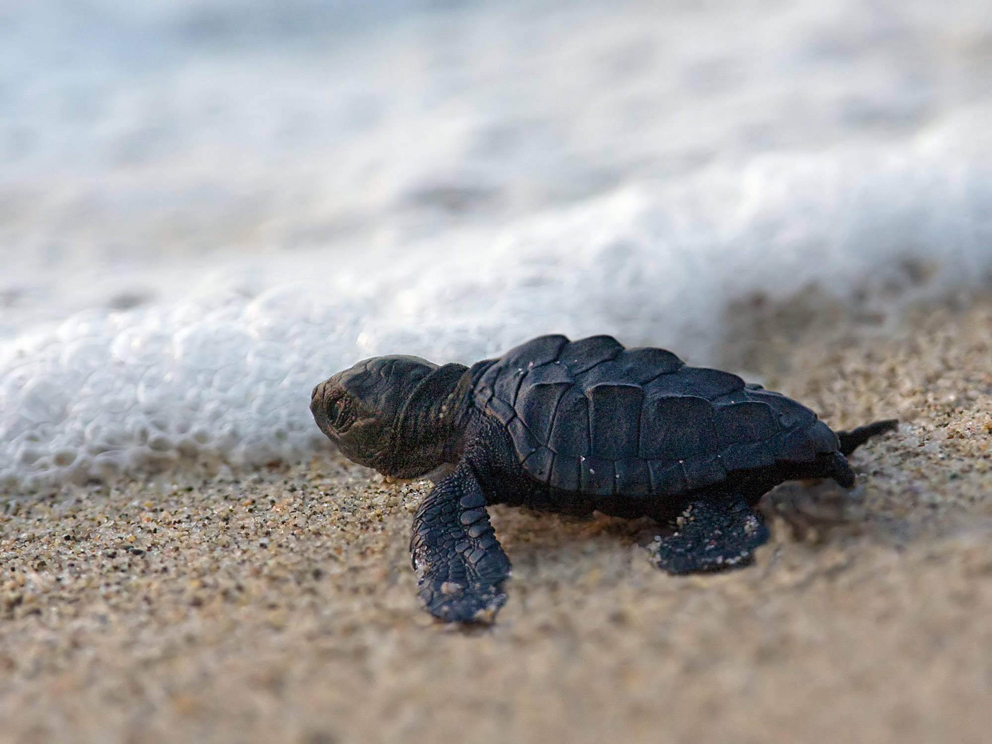 Pictures Of Baby Turtles Hatching Newly hatched sea turtle 2000x1500