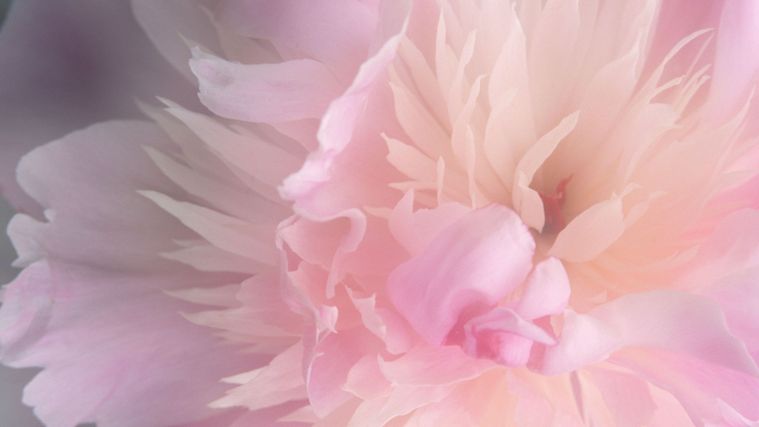 Pink Peonies Wallpaper - WallpaperSafari