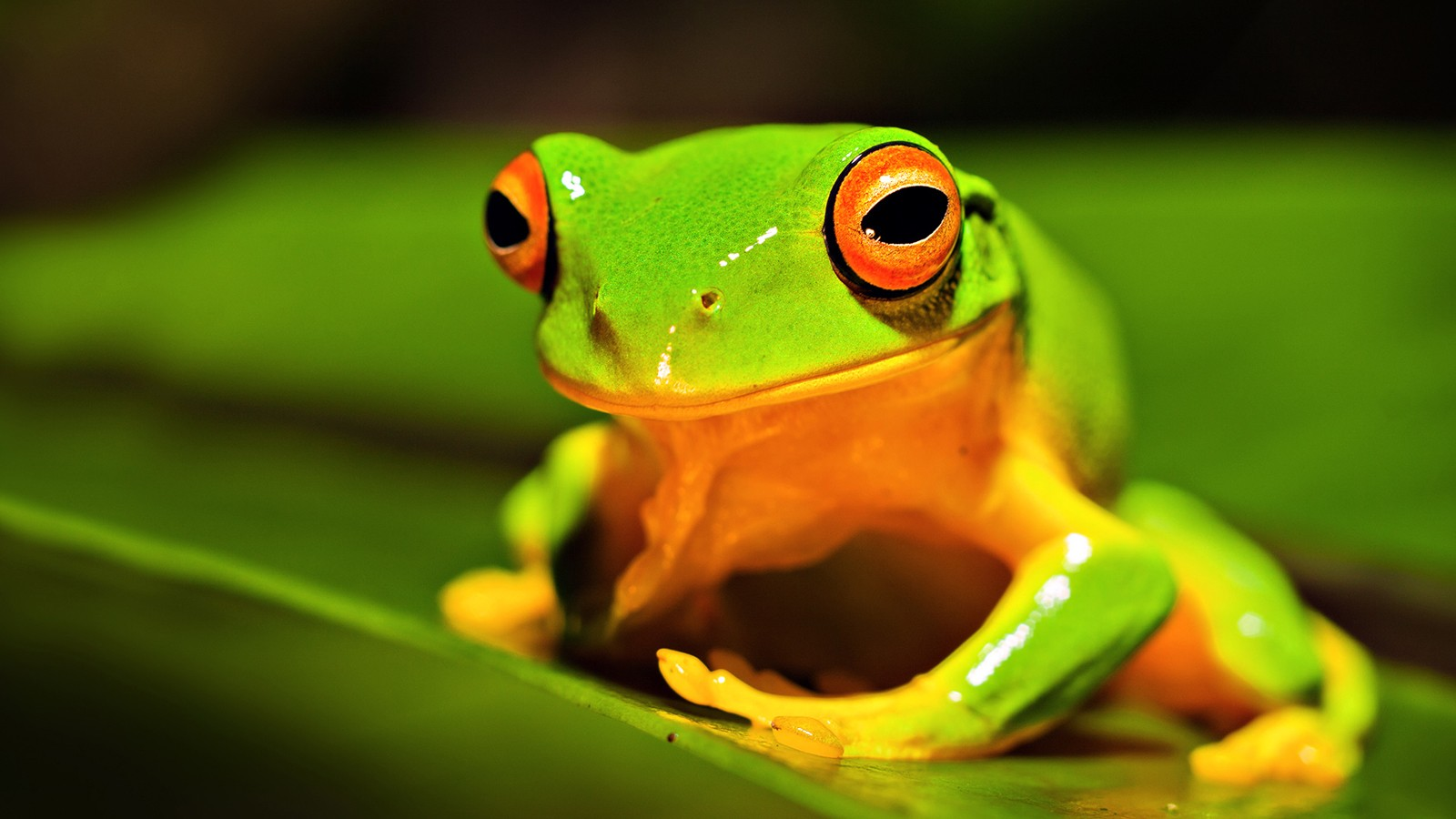 green frog animal wallpapers   HD Wallpaper 1600x900