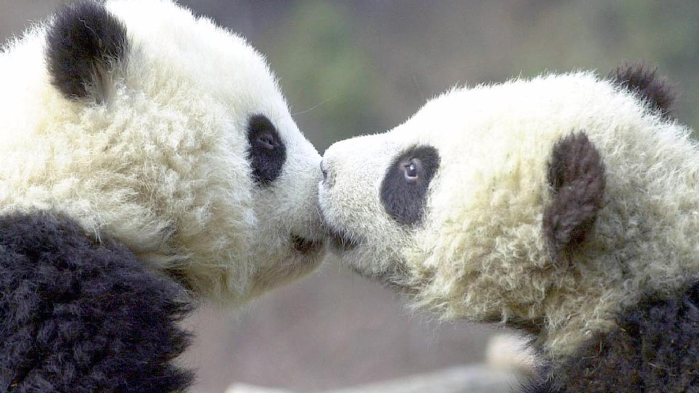 compagnons de panda de bb mignon wallpaper   ForWallpapercom 1366x768