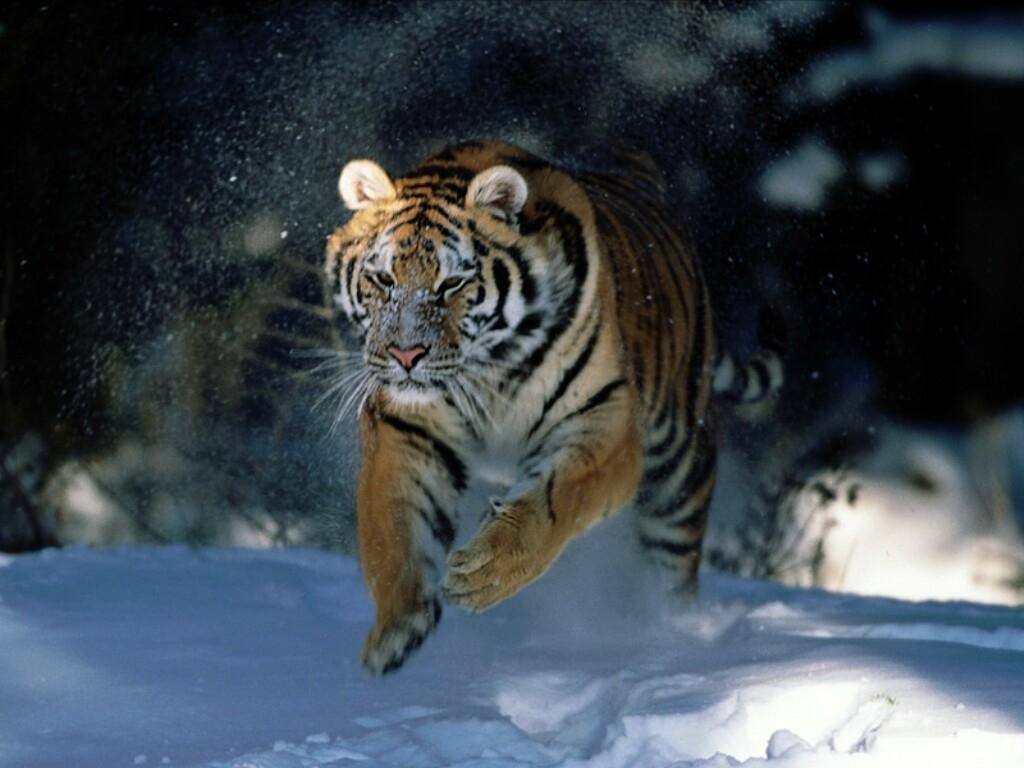 Desktop wallpaper wallpaper Siberian tiger 1024x768