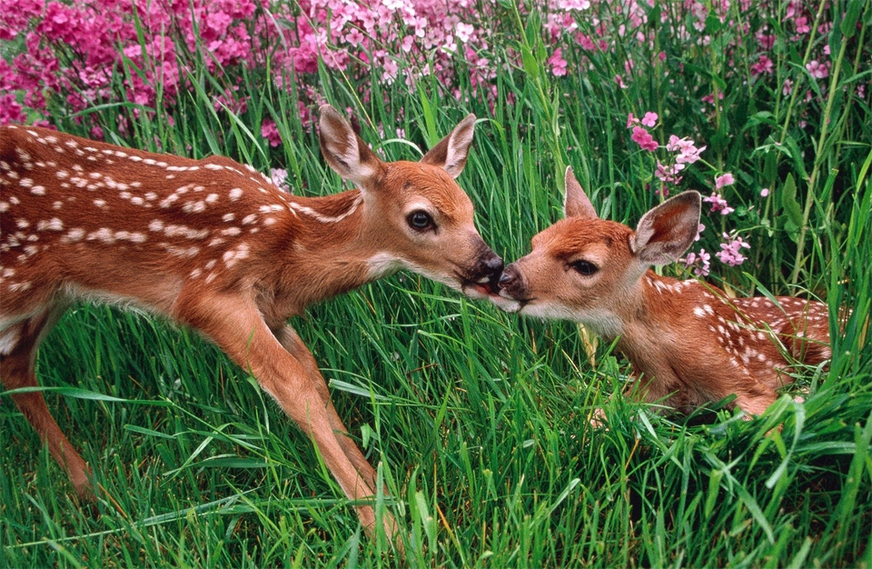deer and fawn in spring meadow photo One Big Photo 960x626