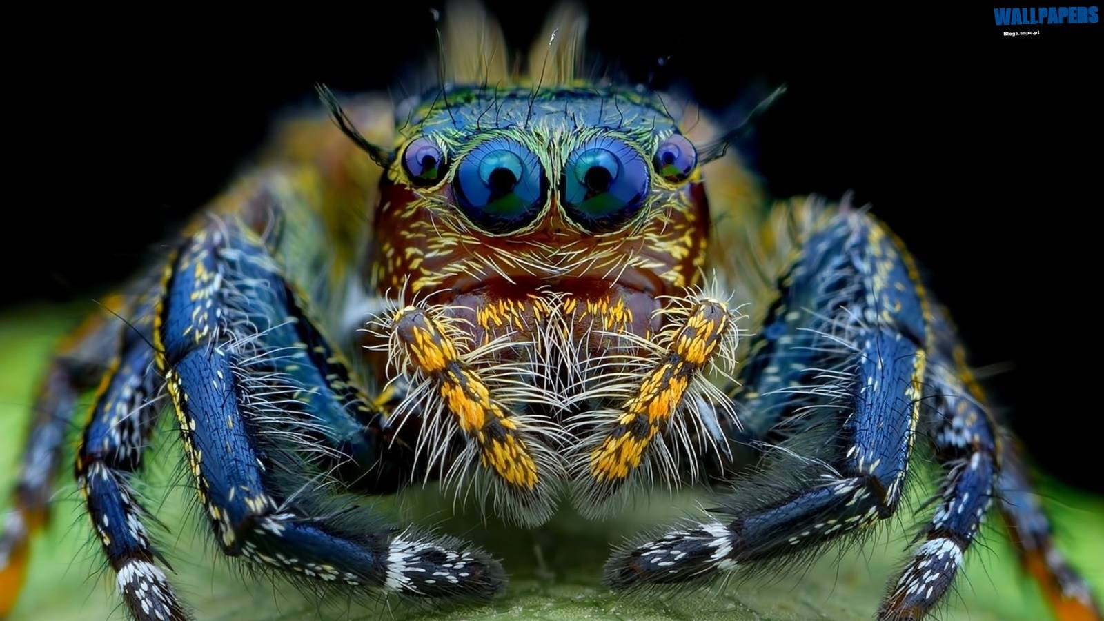 Jumping Spider Macro Insect Wallpaper   Jumping Spider Wallpaper 1600x900