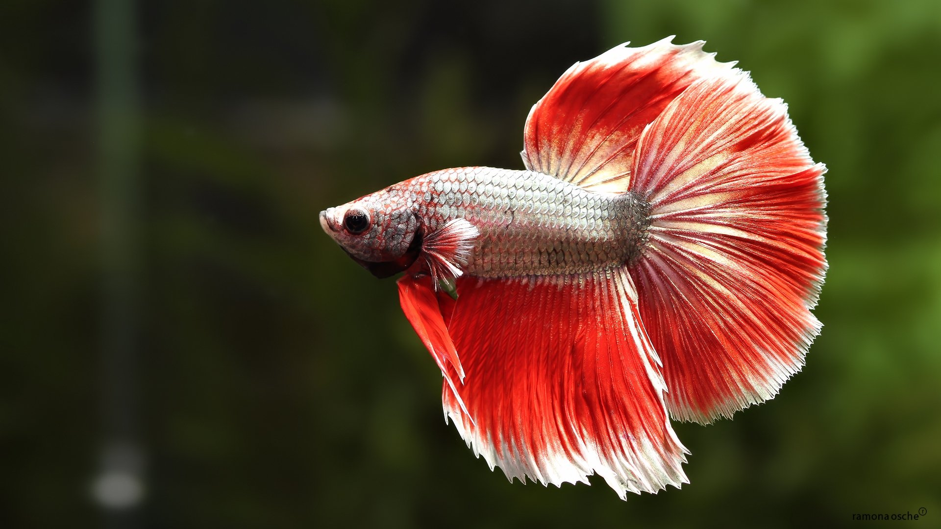 Recent Betta Background Wallpapers GsFDcY HD Wallpapers 1920x1080