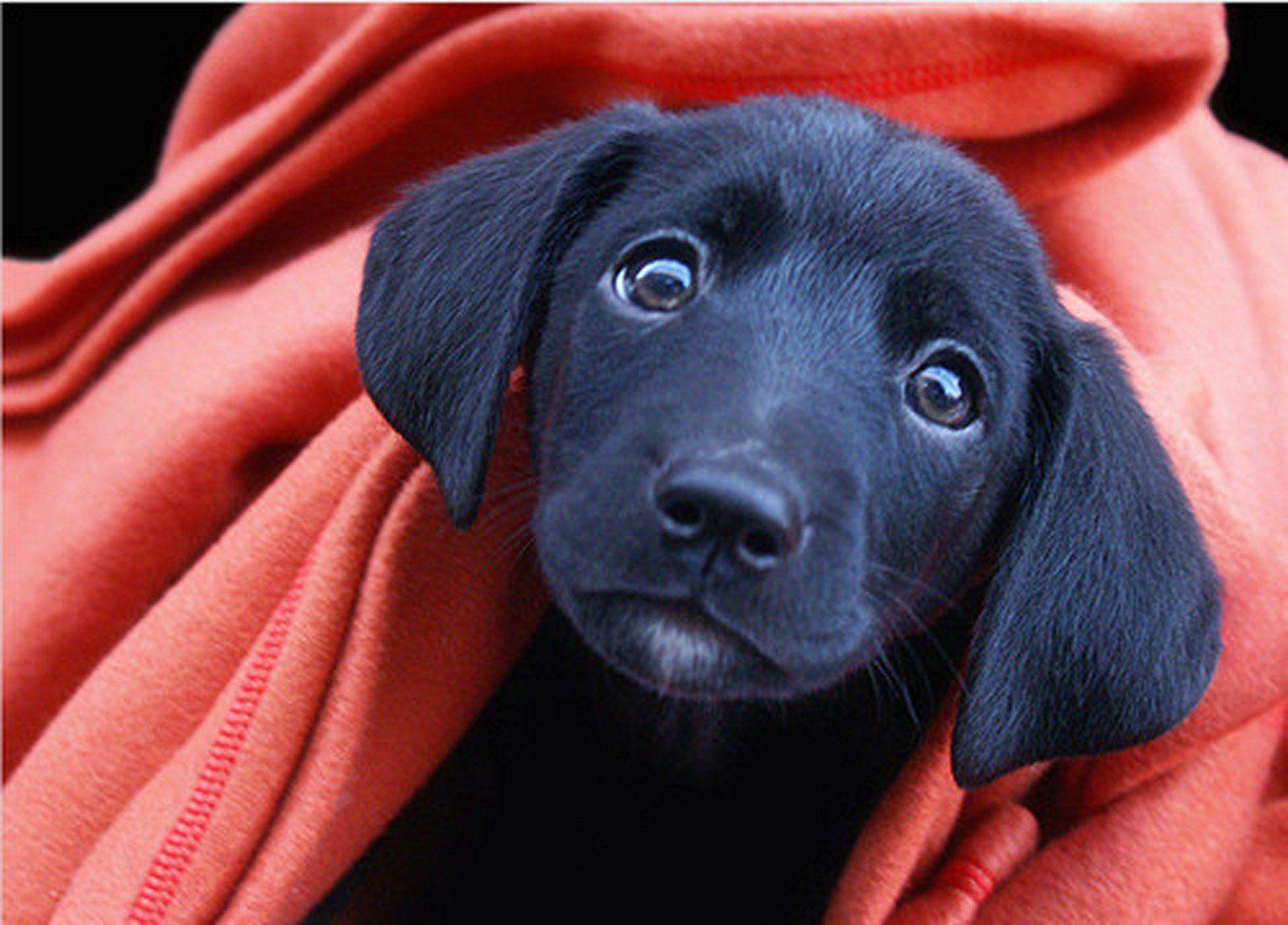 Black Lab Puppy Wallpapers 1600x1149
