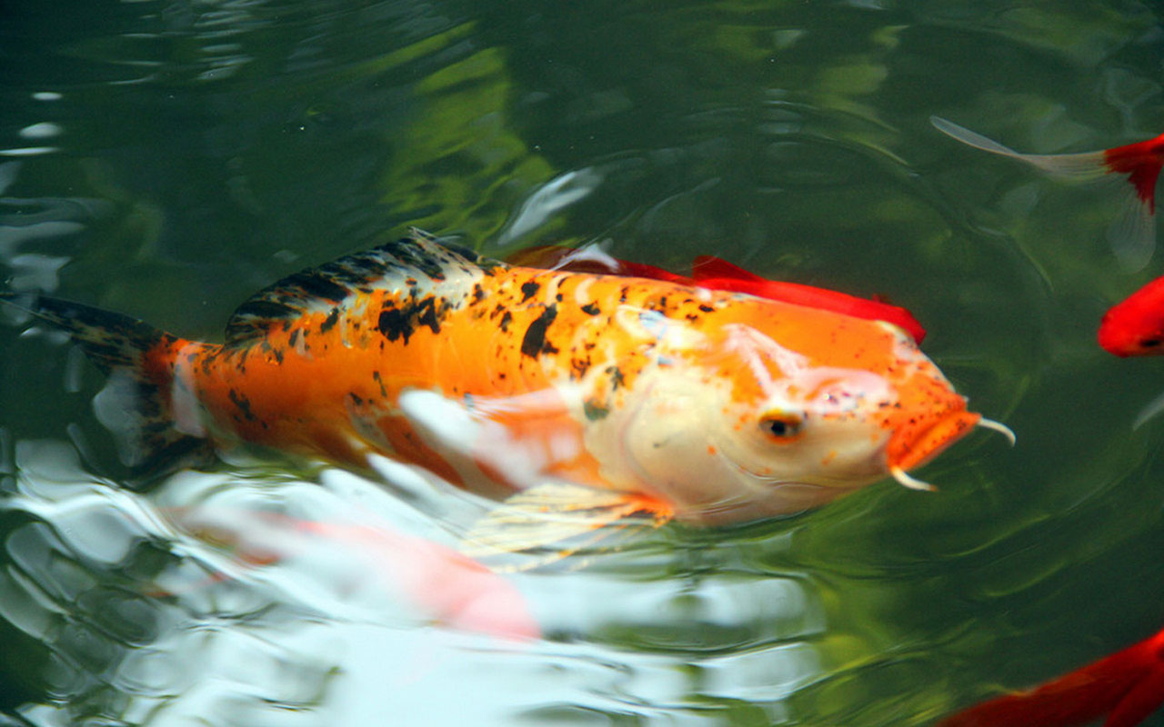 Koi Fish Water Painting, Koi Free Live Wallpaper For Windows Xp .