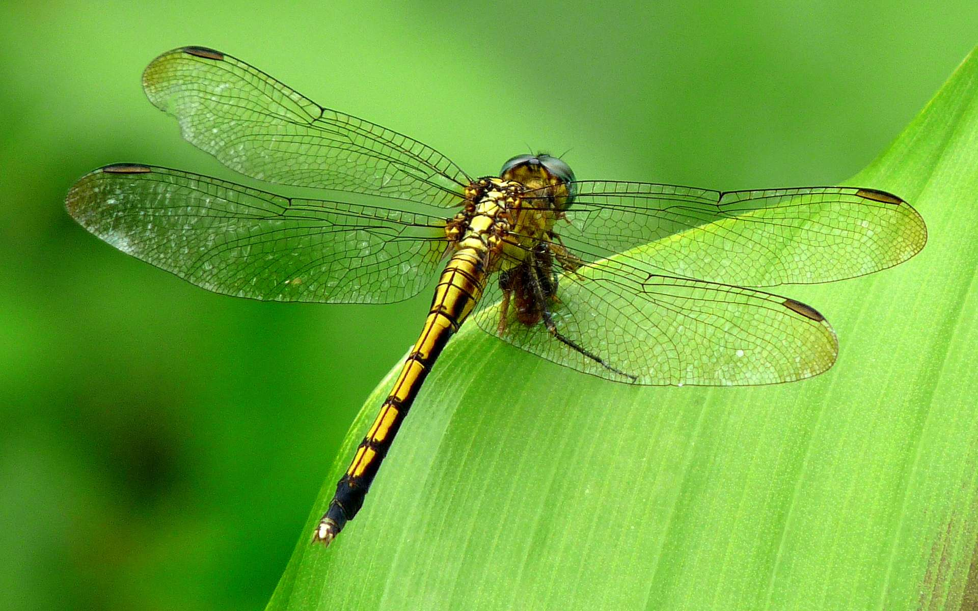 Amazing Macro Dragonfly Wallpaper Wallpaper WallpaperLepi 1920x1200
