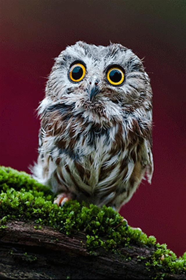 Small Owl Animal IPhone Wallpapers 5s4s3G 640x960