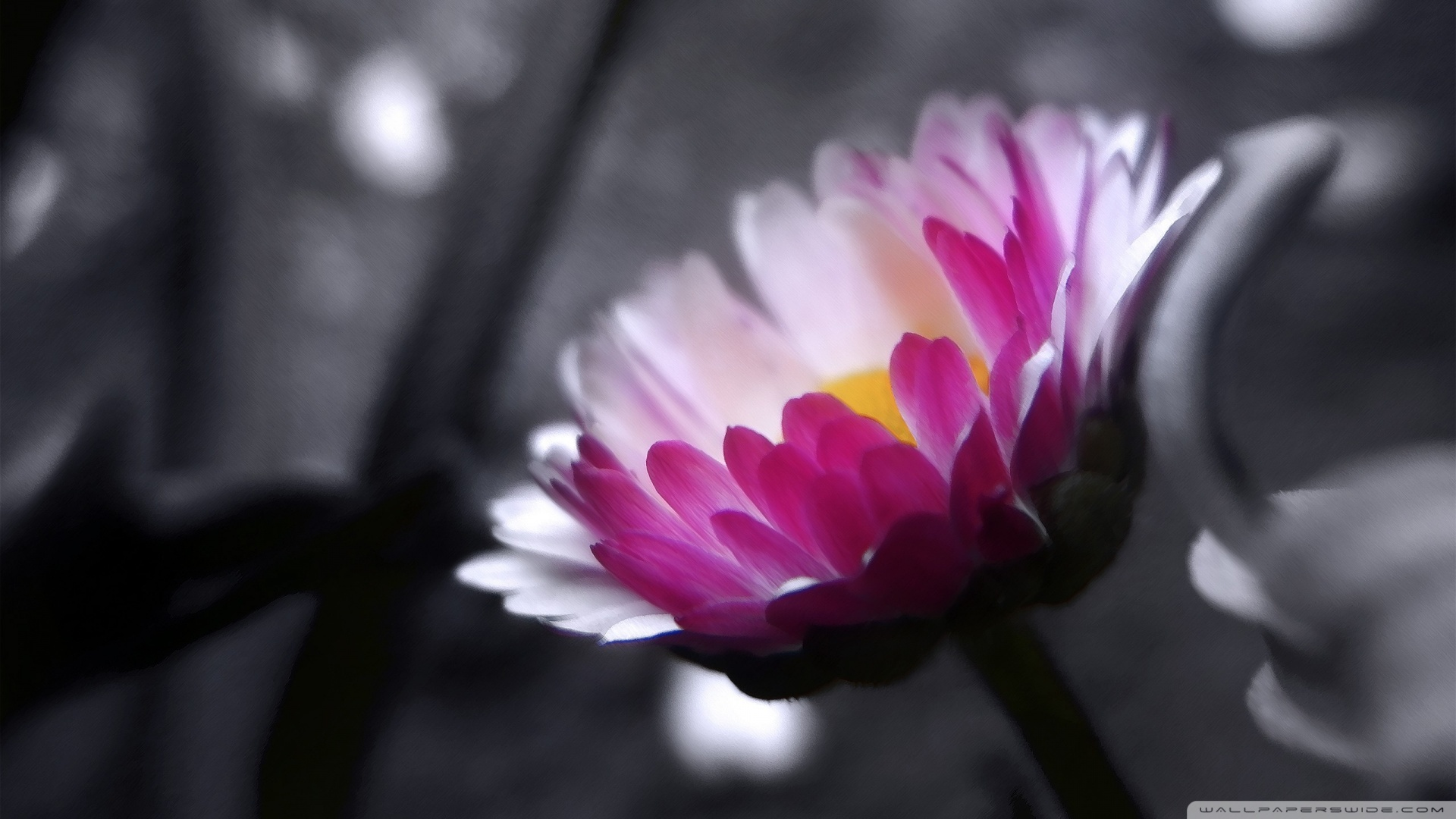Pink Flower On Black And White Background Wallpaper 1920x1080 Pink 1920x1080