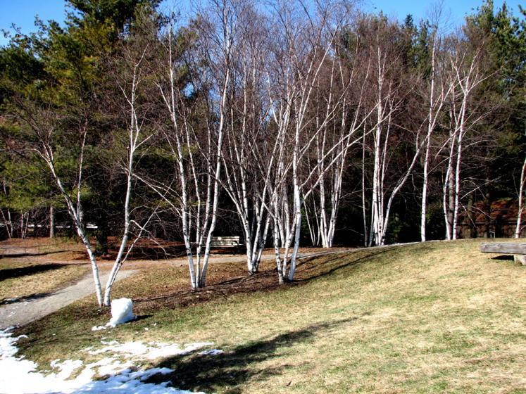Birch trees in Kleinburg 747x560