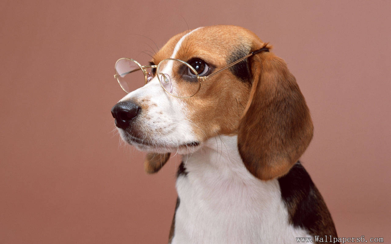 Beagle Animal Wallpapers   download wallpaperswindows xp 1280x800