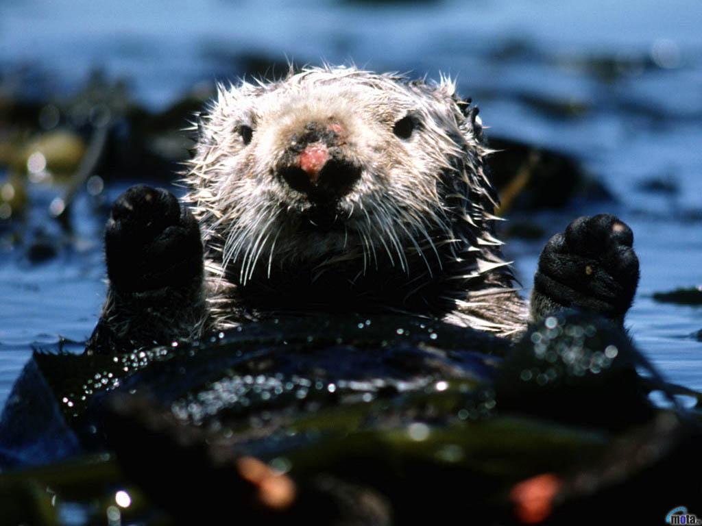Wallpaper otter Sea otter 1024x768