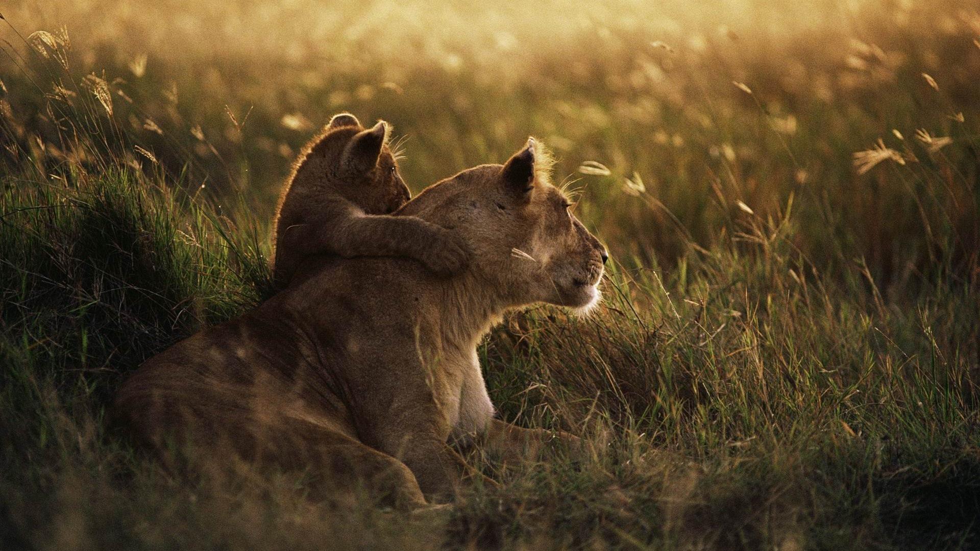 african lion Animal wallpaper HD Wallpaper Background Photo 1920x1080