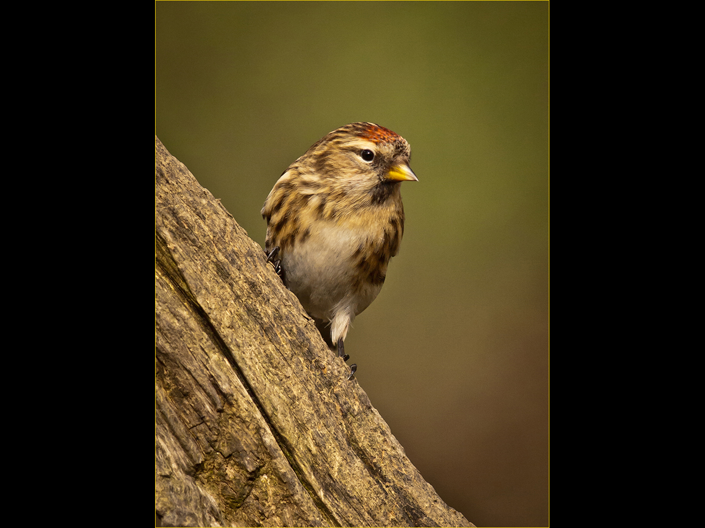 05 Common Redpoll by Mick White LRPS Selsdon Camera Club 1400x1050