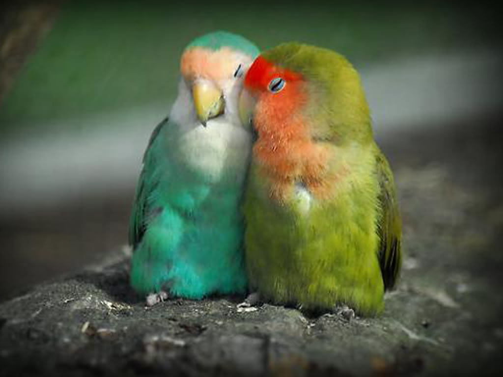 Free Download Picturespool Love Birds Wallpapers Beautiful Birds