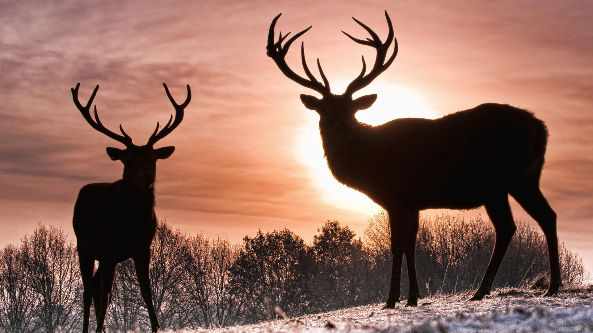 Whitetail Deer Backgrounds 1920x1080