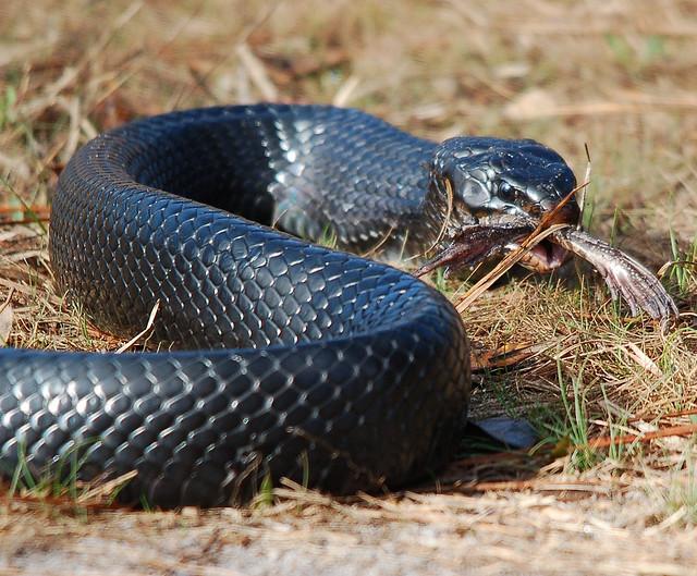 Venomous Black Indigo Snake 640x529