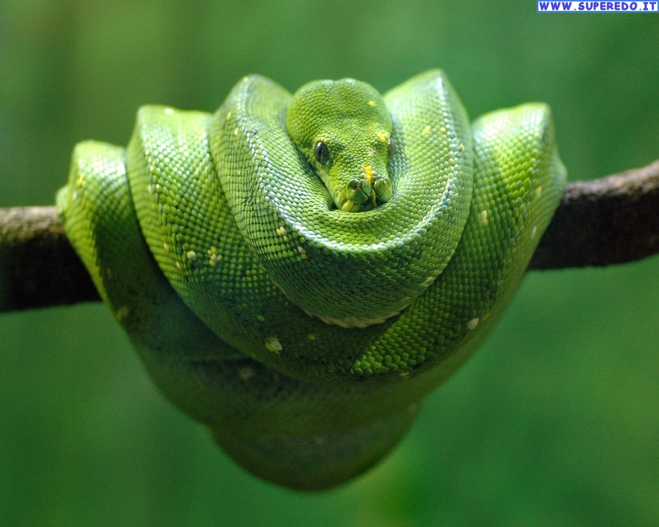 Snakes Desktop Wallpapers 55 High Definition Wallpapers 1280x1024