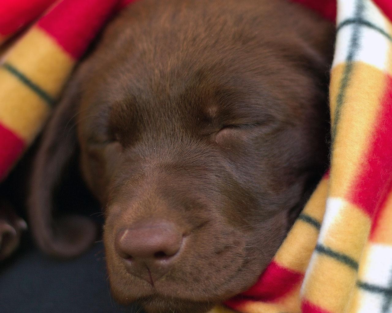 Labrador Center   All About Labrador Retriever Dogs and Puppies 1280x1024