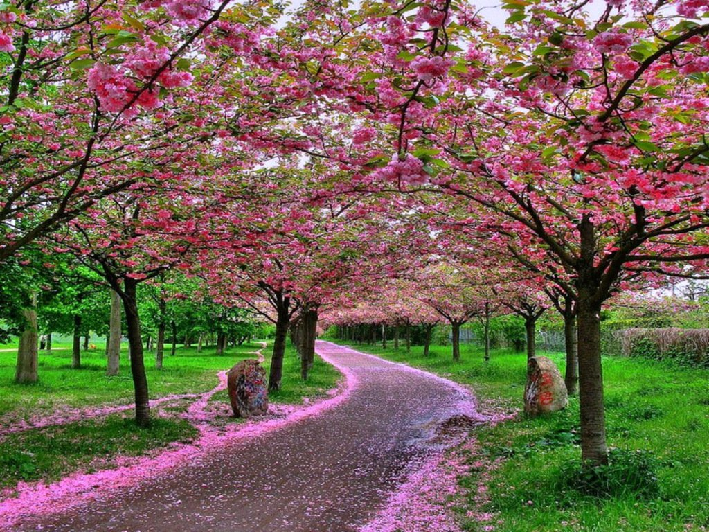 Wallpaper Desktop Bunga Sakura Terlengkap A1 Wallpaperz For You