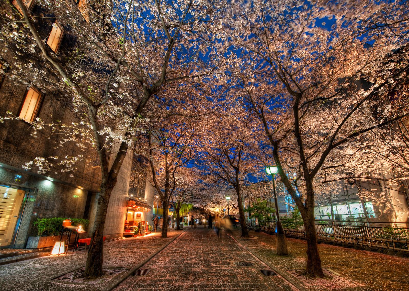 Evening in Kyoto   Kyoto street with sakura trees   Japan wallpaper 1600x1138