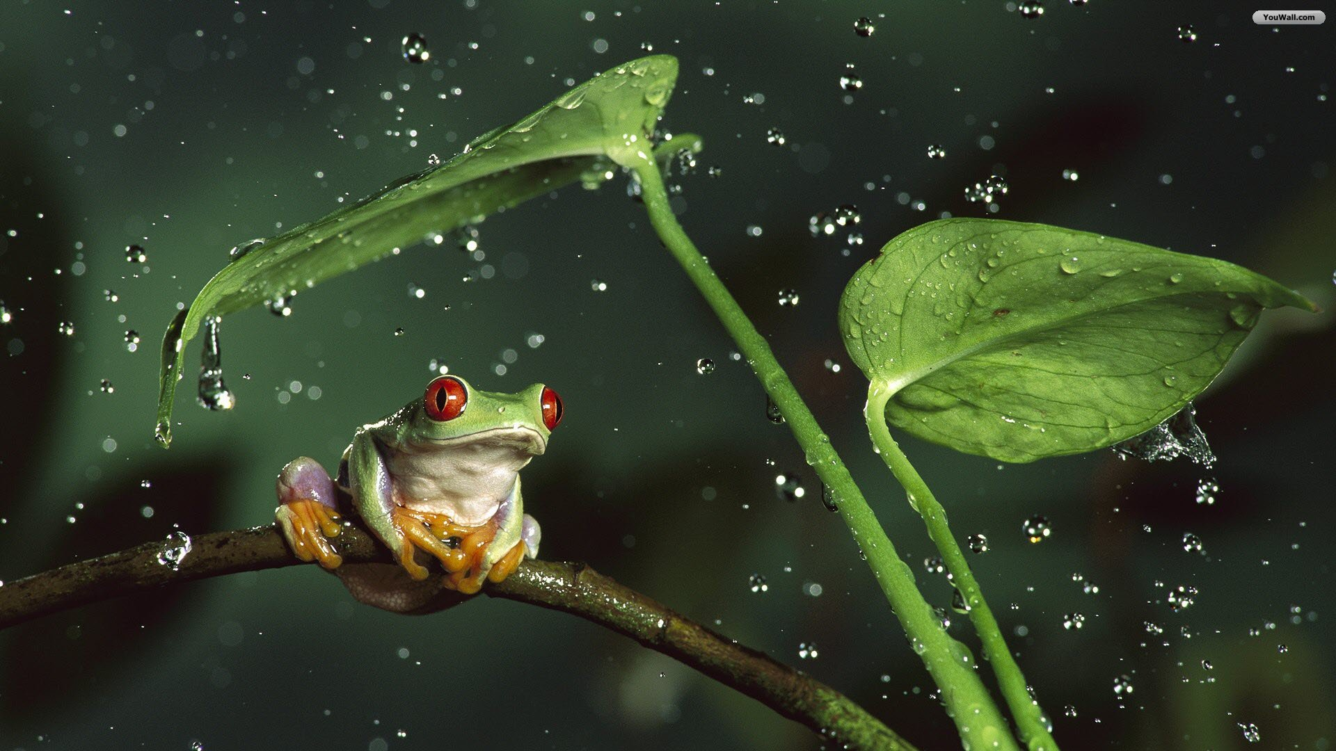 Under Rain Wallpaper HD wallpaper   Green Frog Under Rain Wallpaper 1920x1080