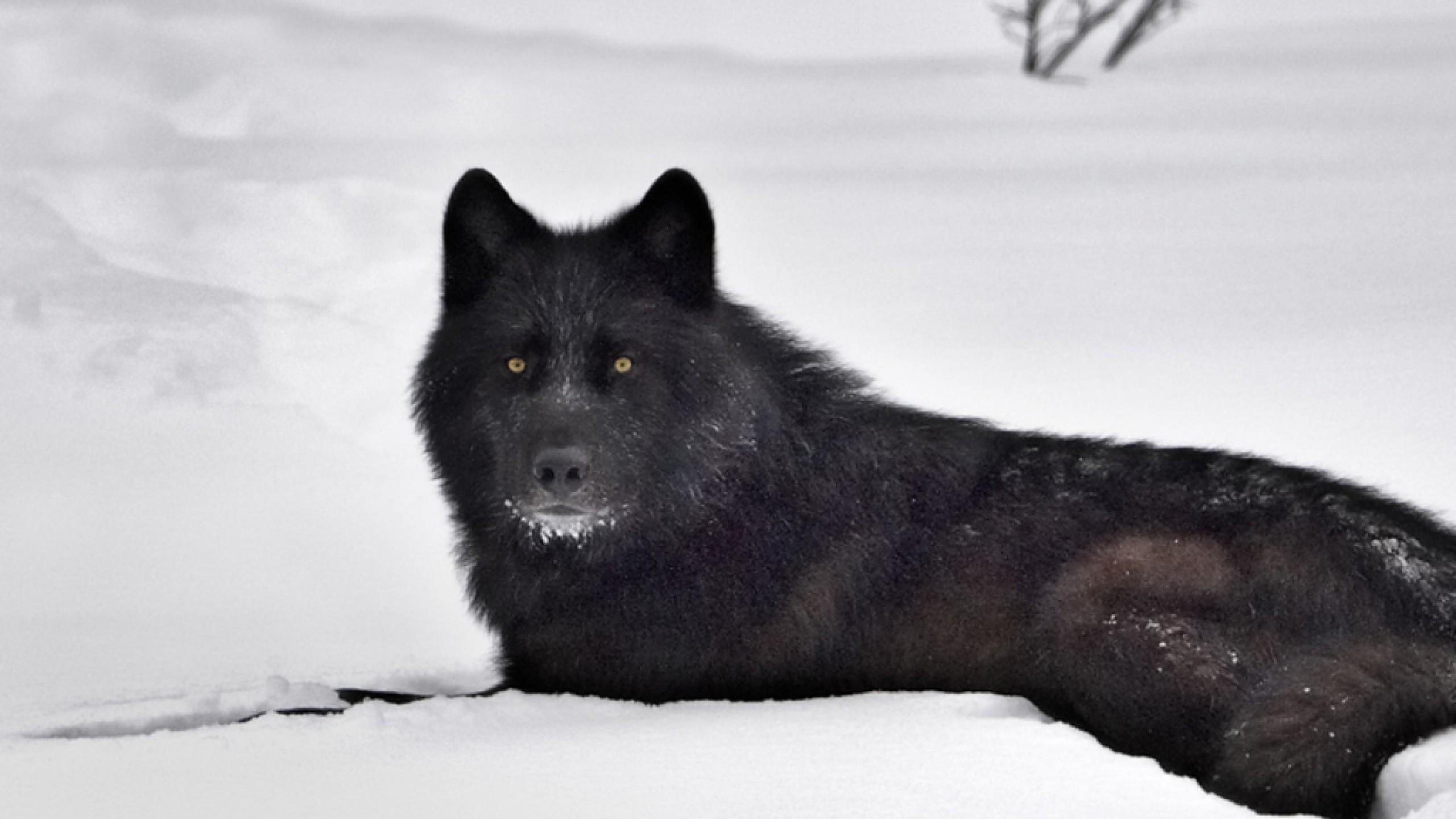 black wolf wallpaper wallpapersafari