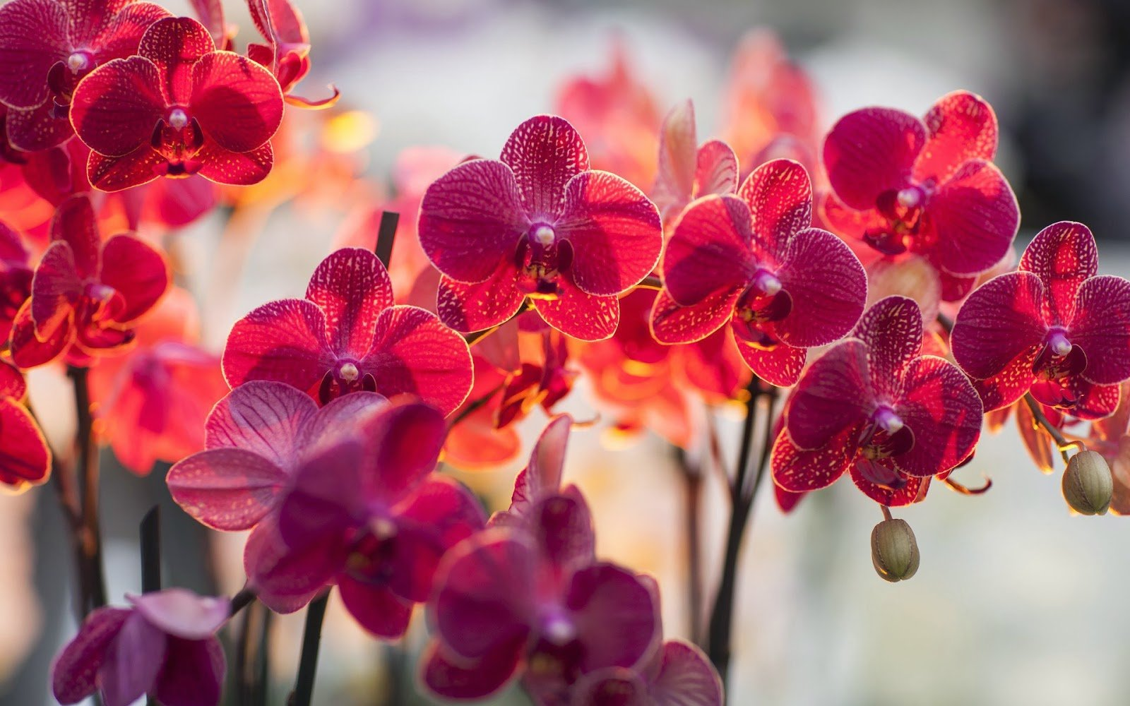 Precious Orchid Wallpaper 077