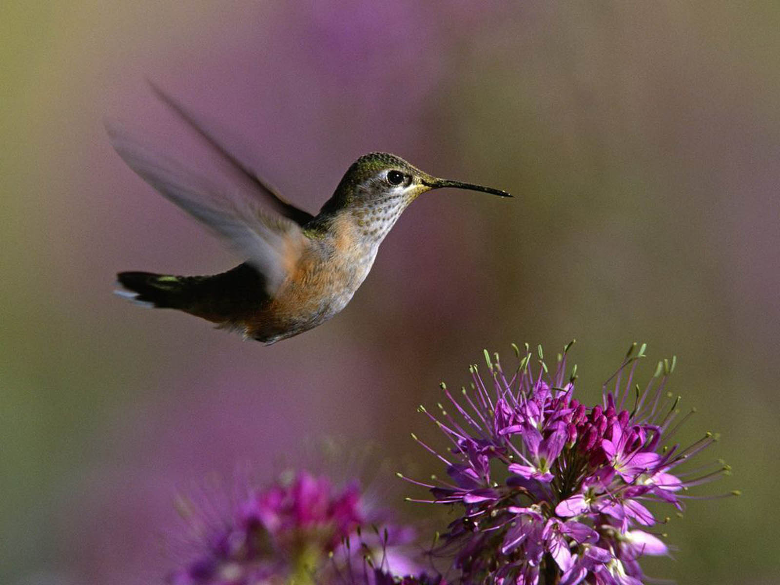 wallpapers Hummingbird Wallpapers 1600x1200