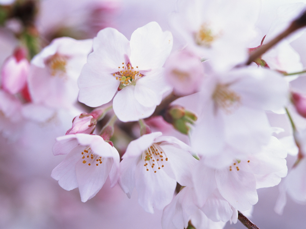 Japanese cherry blossom wallpapers wallpapersafari Cherry blossom pictures