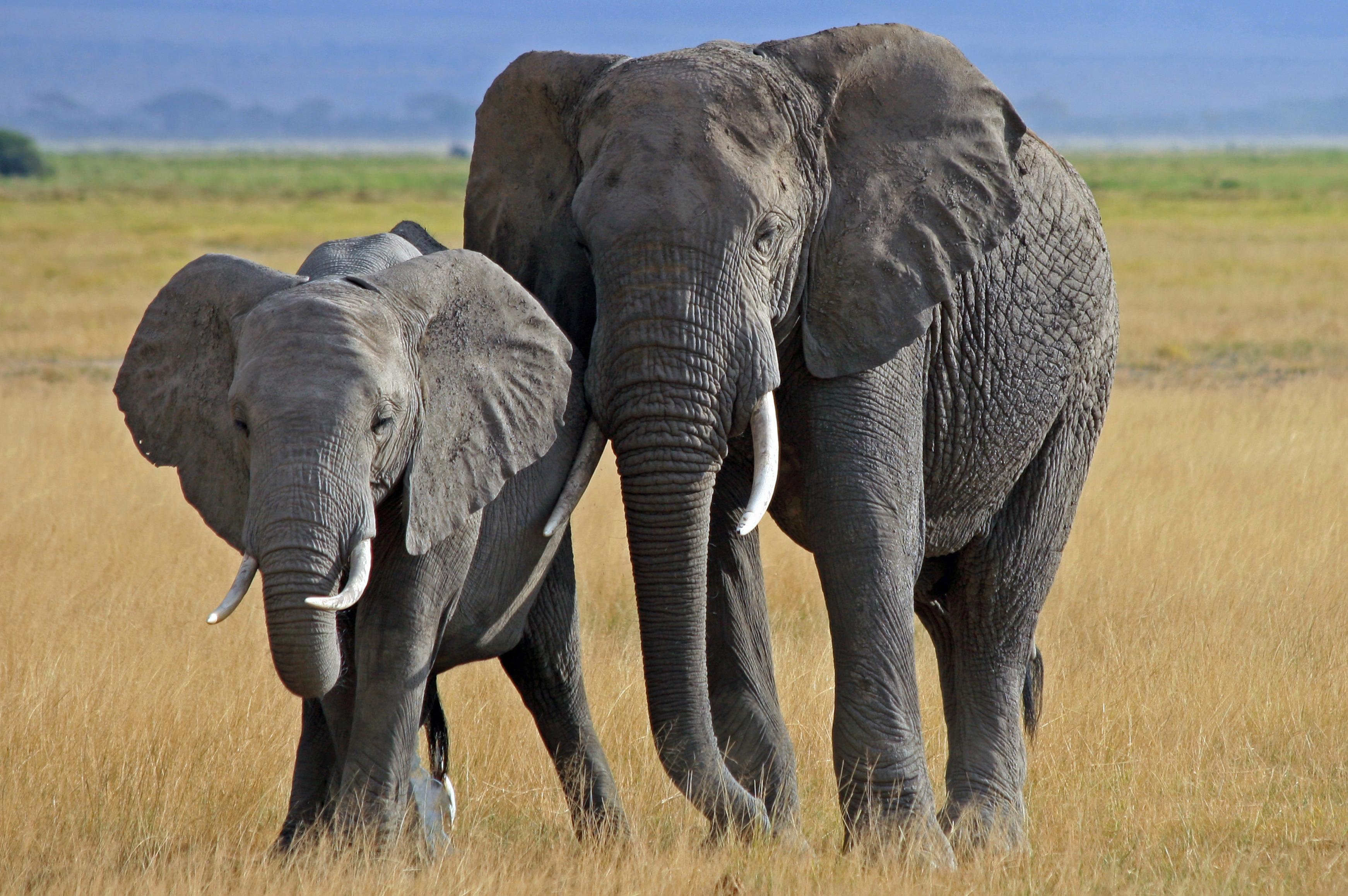 Wallpaper download elephant - Elephant Computer Wallpapers Desktop Backgrounds 3484x2316 Id