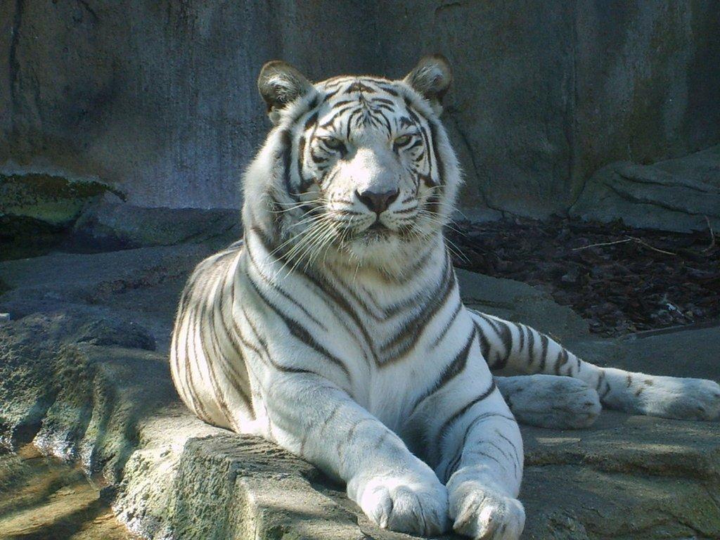 White Bengal Tiger by BreatheOnMe 1024x768