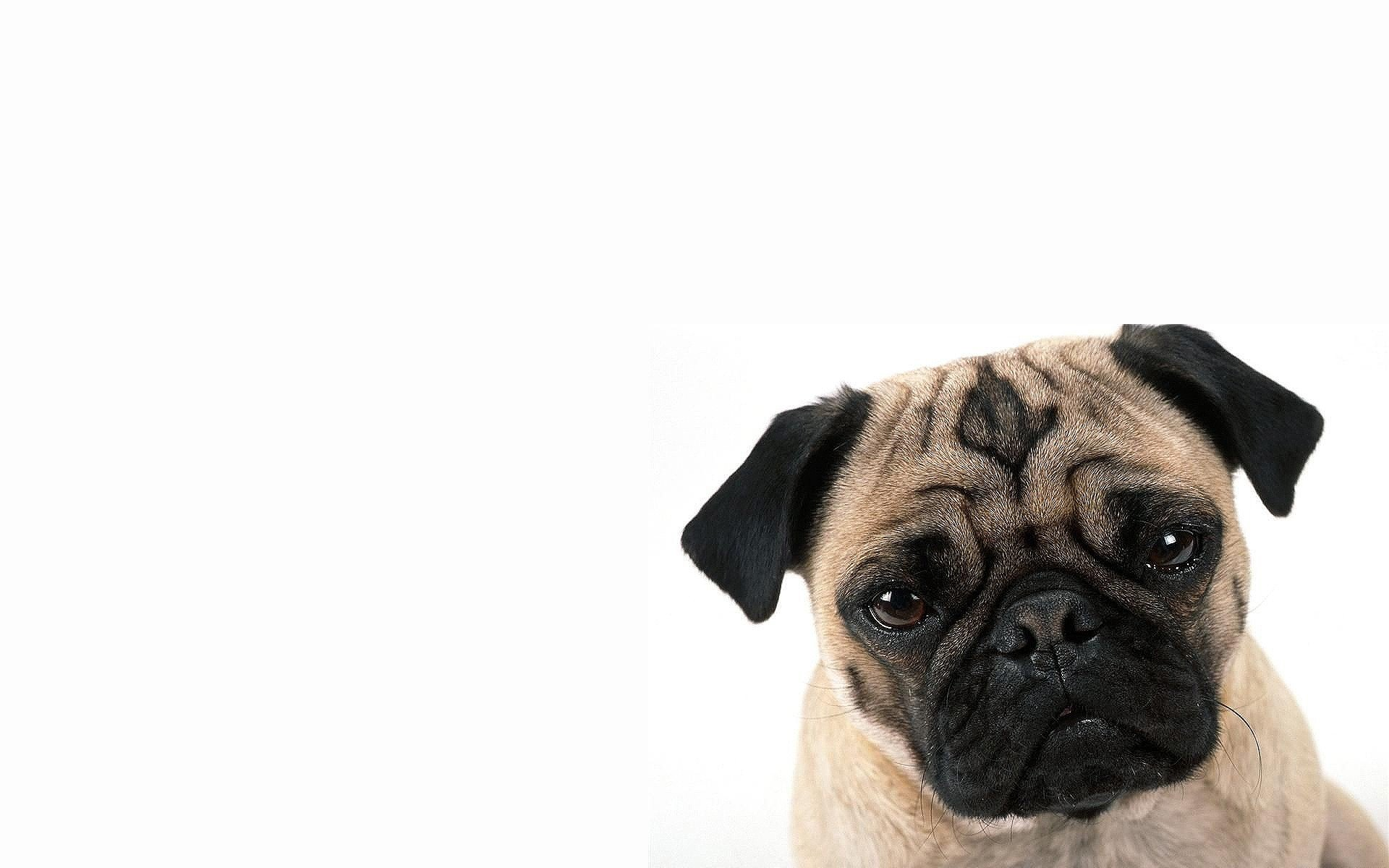 Pug Wallpaper 205 Wide Wallpaper   DogBreedsWallpaperscom 1920x1200
