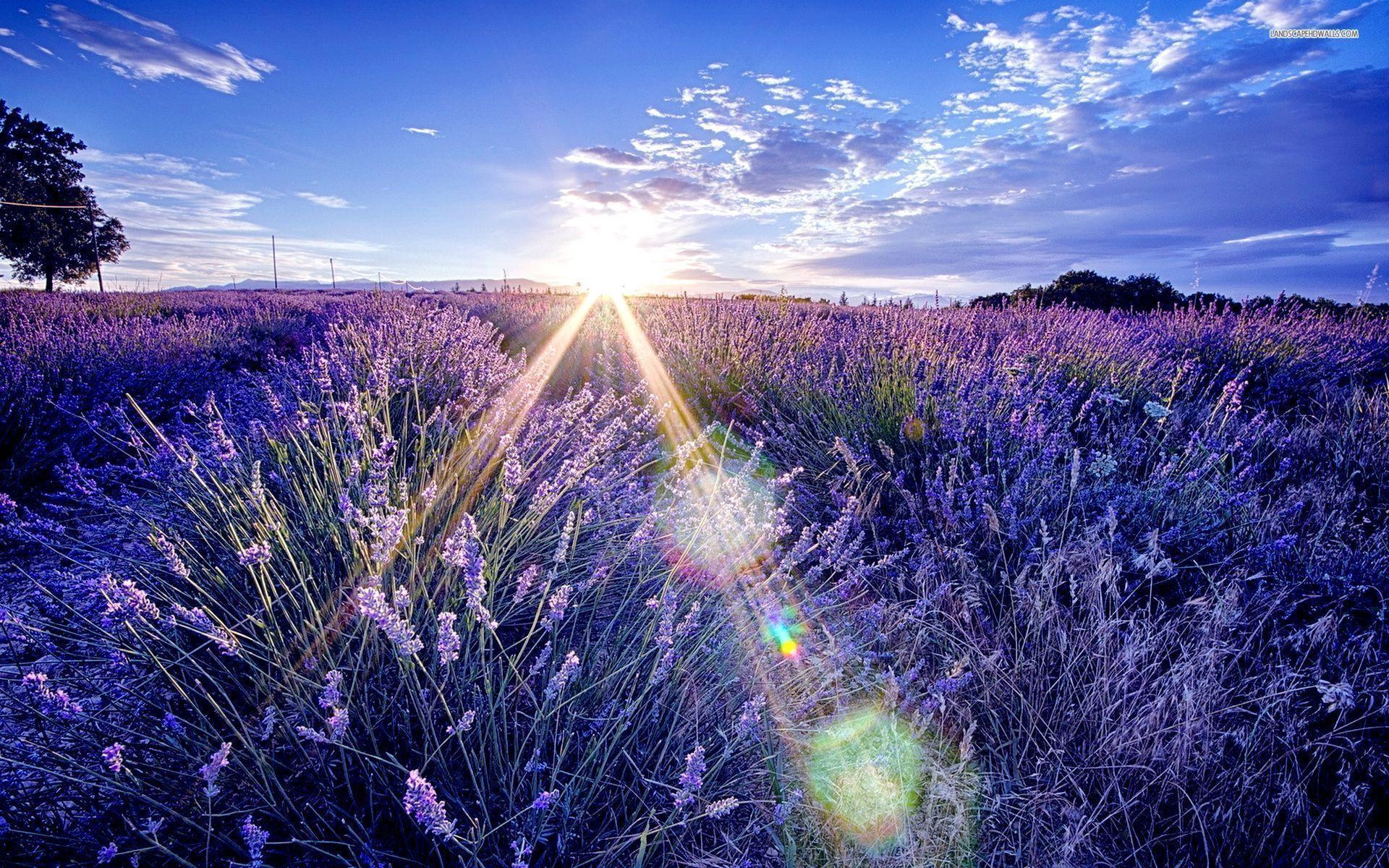 Lavender Wallpapers 1920x1200