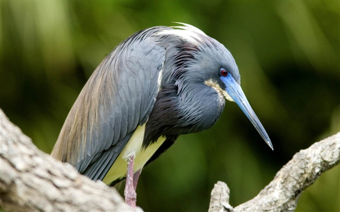 tricolored heron florida bird theme desktop wallpaper 700x437