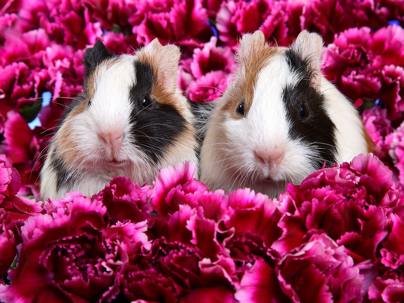 guinea pig the best top desktop guinea pig wallpapers xmas guinea pig 1600x1200