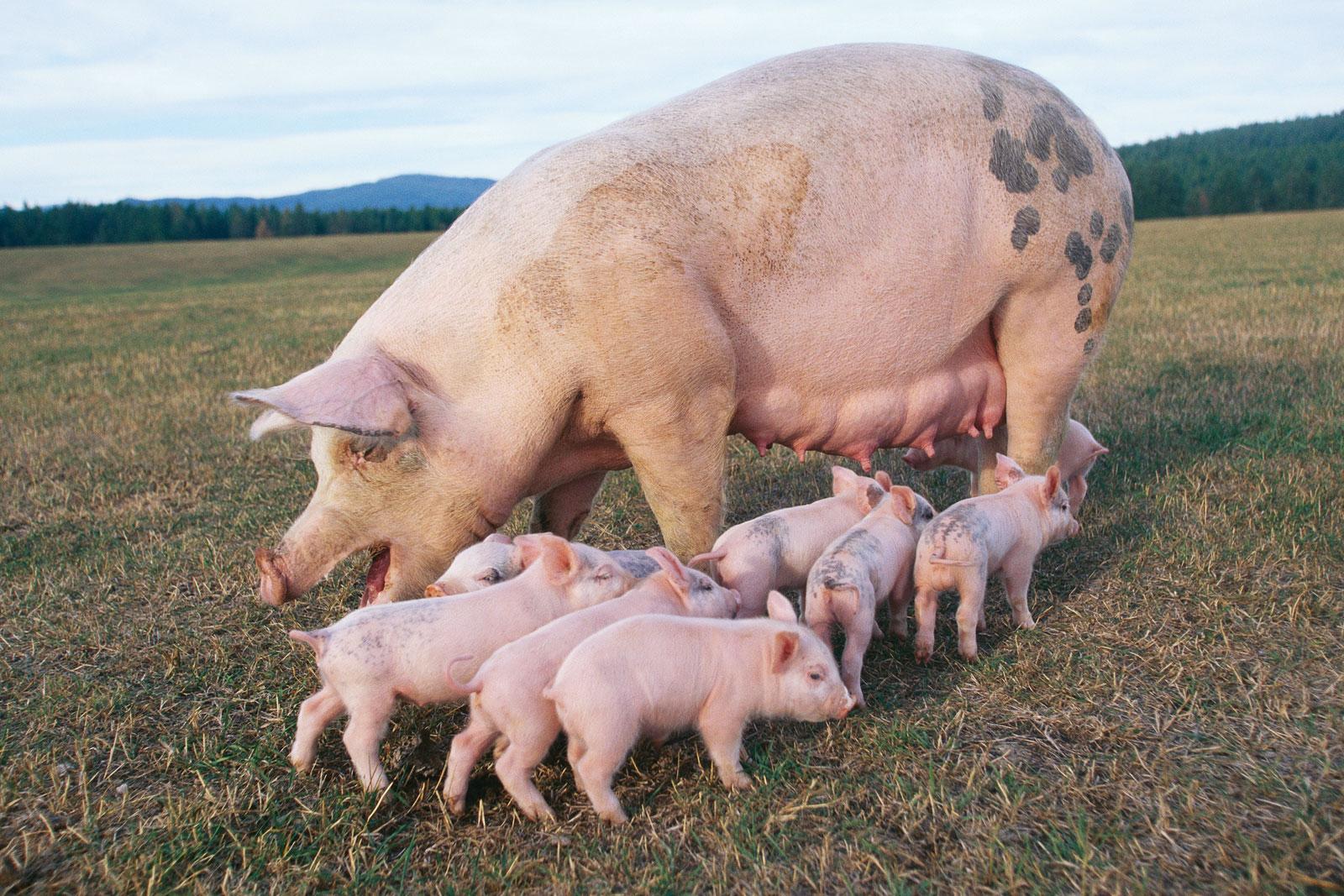 Pig And Piglets Wallpaper 1600 X 1067 197194 HD Wallpaper 1600x1067