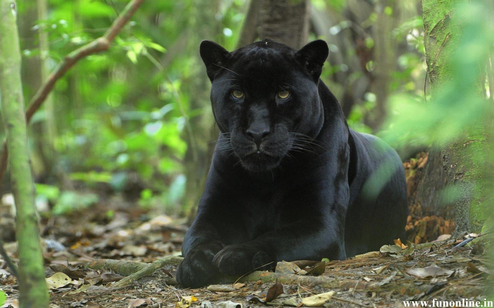 Panther Wallpapers Download Black Panthers HD Wallpaper 1680x1050