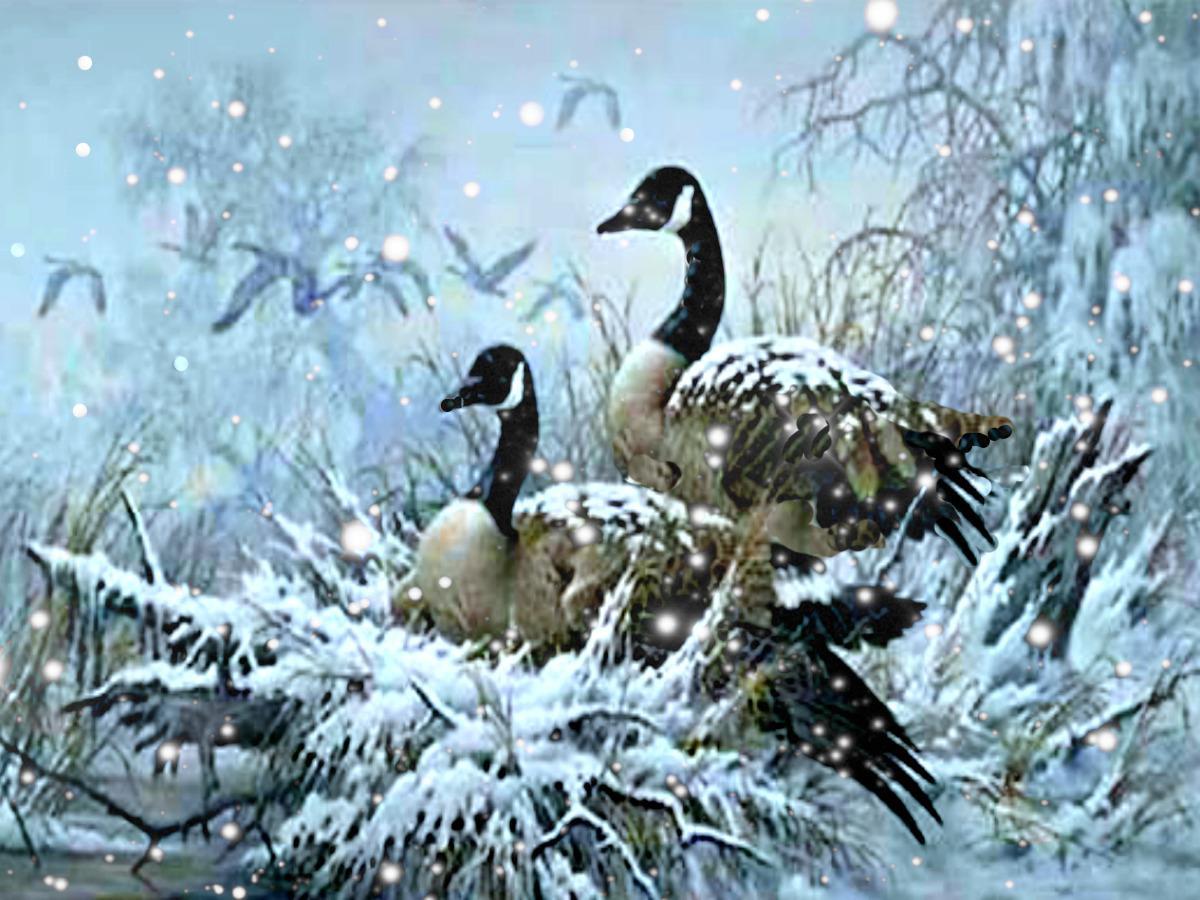 Snow Goose Wallpaper