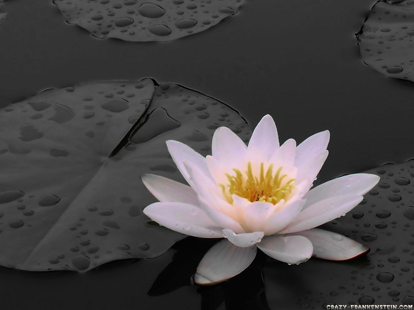white lily flowers wallpapers white lily flowers wallpapers white lily 1600x1200