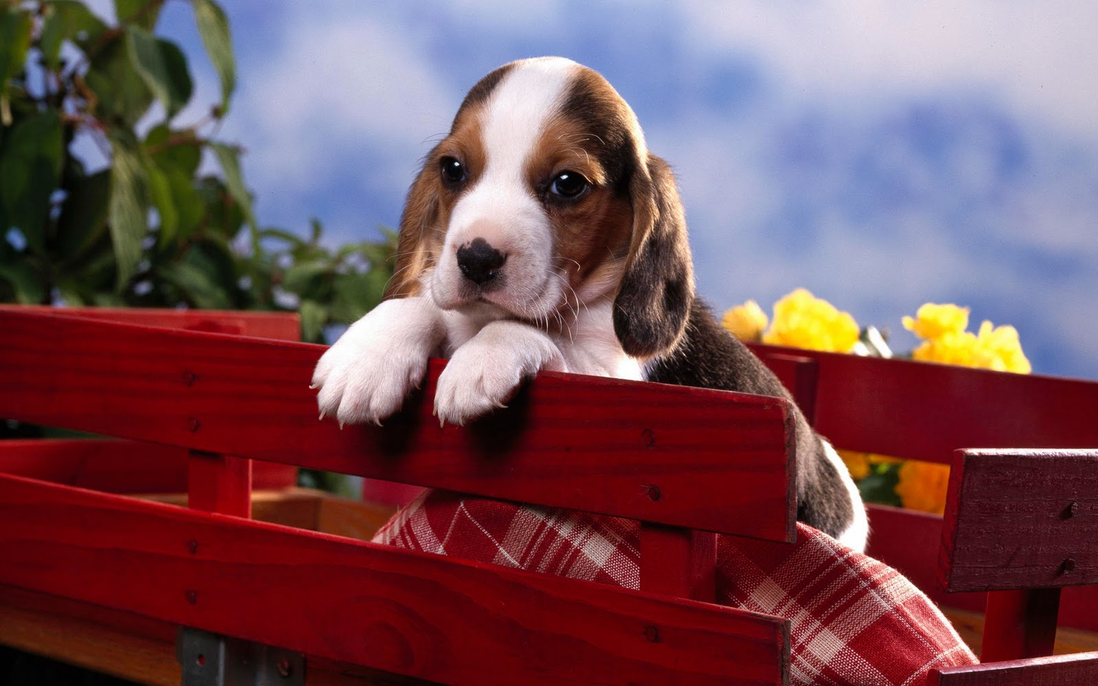 Beagle Puppy Pictures and Information Puppy Pictures and Information 1600x1000