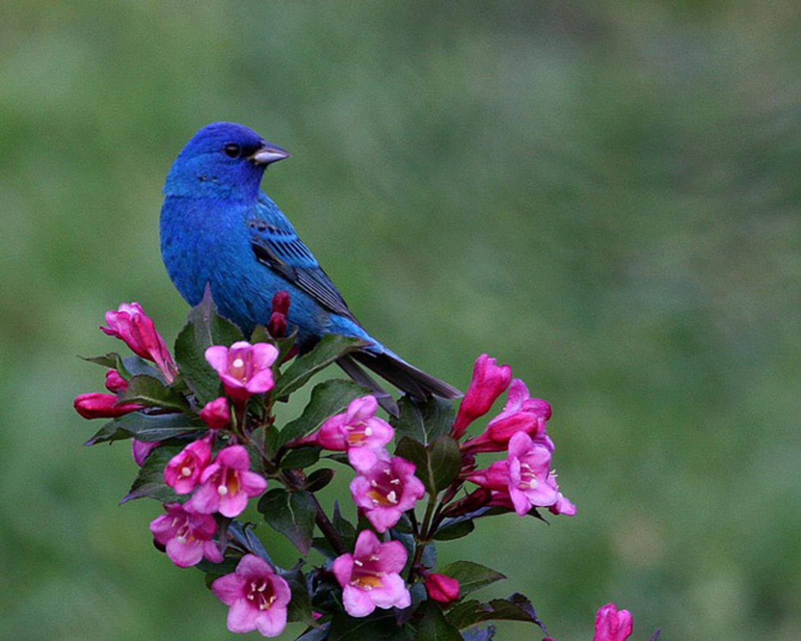 Blue Bird and pink Flowers wallpaper   ForWallpapercom 1600x1280