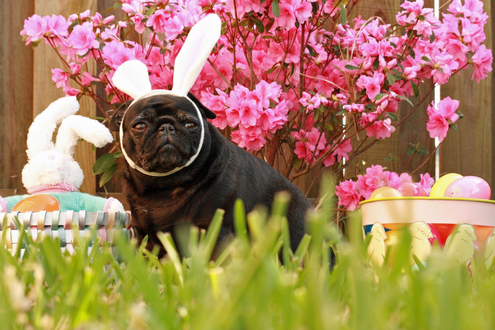 Easter Pug in the grass photo and wallpaper Beautiful Easter Pug in 1600x1067