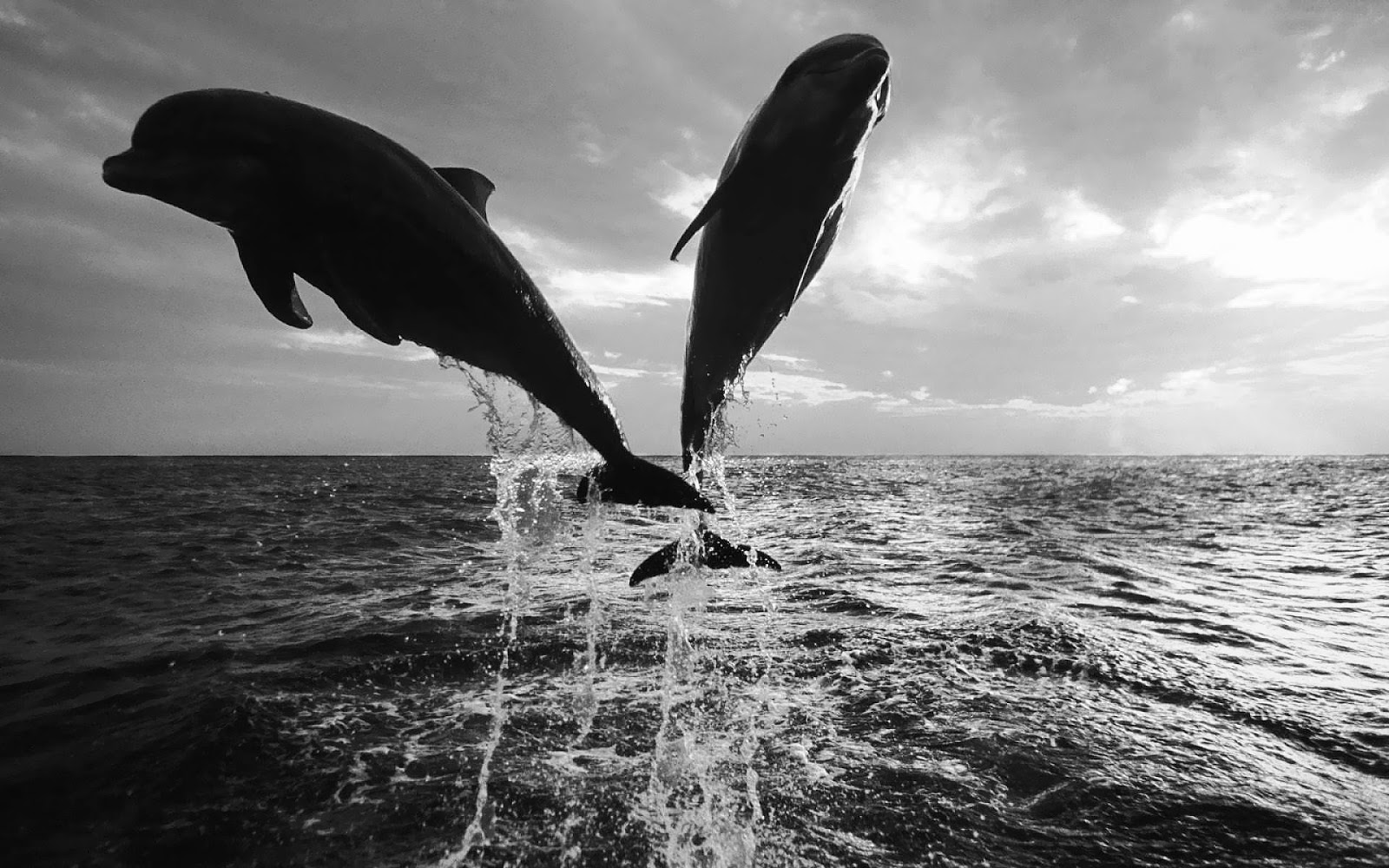 Black and white wallpaper of dolphins HD Animals Wallpapers 1600x1000