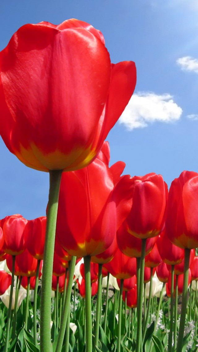 Red Tulip Flowers Iphone 5 Wallpapers HD Wallpapers   Red Tulip 640x1136