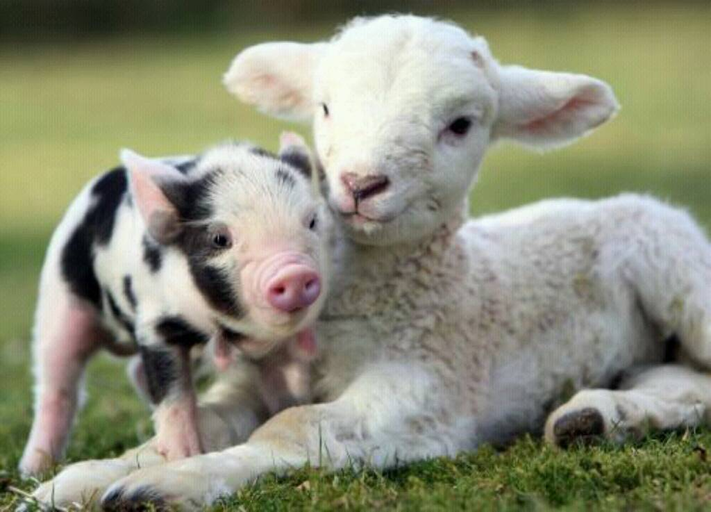 Piglet and Lamb This is a cute picture of a spotted piglet with a 1024x737